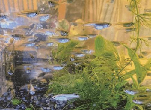 HB-101のおかげでメダカは餌をよく食べ、色があざやかになっています。