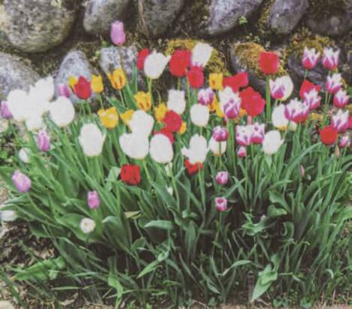 HB-101でチューリップがきれいに咲き、ご近所の人々に本当に喜ばれました。
