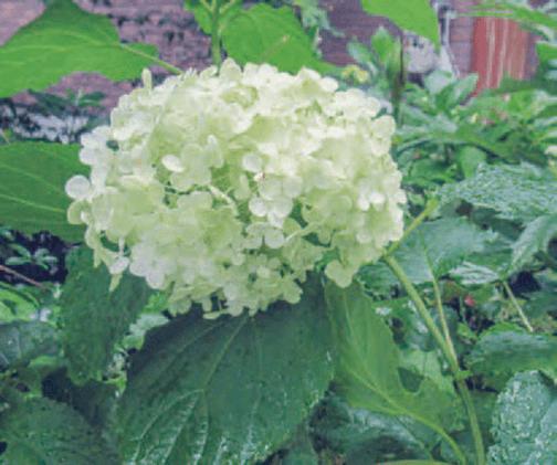 HB-101でアジサイの仲間のアナベルの花の白の色合いが良いです。
