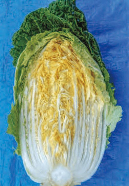 白菜の中は、しっかりと締まり、甘く柔らかいです。HB-101を使用することの大切さがわかります。