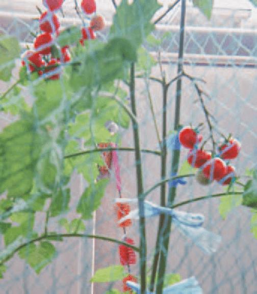 HB-101でミニトマトが生り始めています。