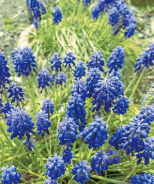 HB-101のおかげで、いつもきれいに、美しく、生き生きした花が立派に咲いています。