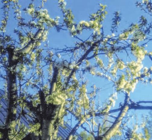 HB-101と顆粒HB-101でサクランボの花が咲き、サクランボに実が着きました。