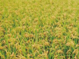 HB-101のおかげで稲がよく育っています。
