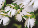 HB-101のおかげで、さぎ草は花が咲くまで病気が出ません。