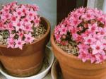 HB-101と顆粒HB-101でサボテンに花がいっぱい咲きました。
