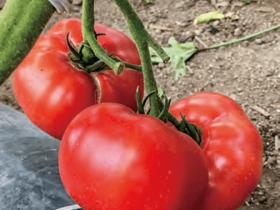 大玉トマトがHB-101で高品質に育っています。