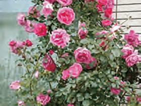HB-101でバラが見事に咲きました。