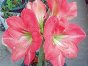 HB-101と顆粒HB-101でアマリリスが咲き誇っています。