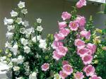 HB-101で釣鐘草の花が色鮮やかに長く咲き続け、切り花にしても長持ちします。