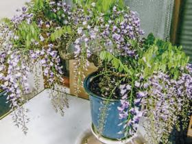 「高間いの」様の藤は小さいのに、HB-101のおかげで、70幾つもの蕾をつけ、見事に花を咲かせました。