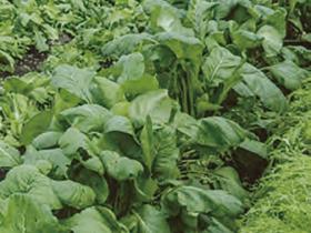 HB-101で作るミズナ、小松菜、大根、白菜の根張りと葉の色艶と食味が良く、食べた人達から喜びの声が寄せられています。