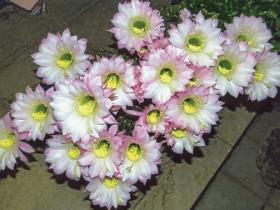 HB-101で玉サボテンの花が23ヶも1度に咲いてくれました。