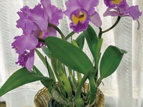 HB-101でカトレアの花の色が美しく、大きな花が咲きました。]