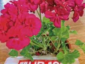 HB-101と顆粒HB-101でゼラニウムの花がきれいに咲きました。